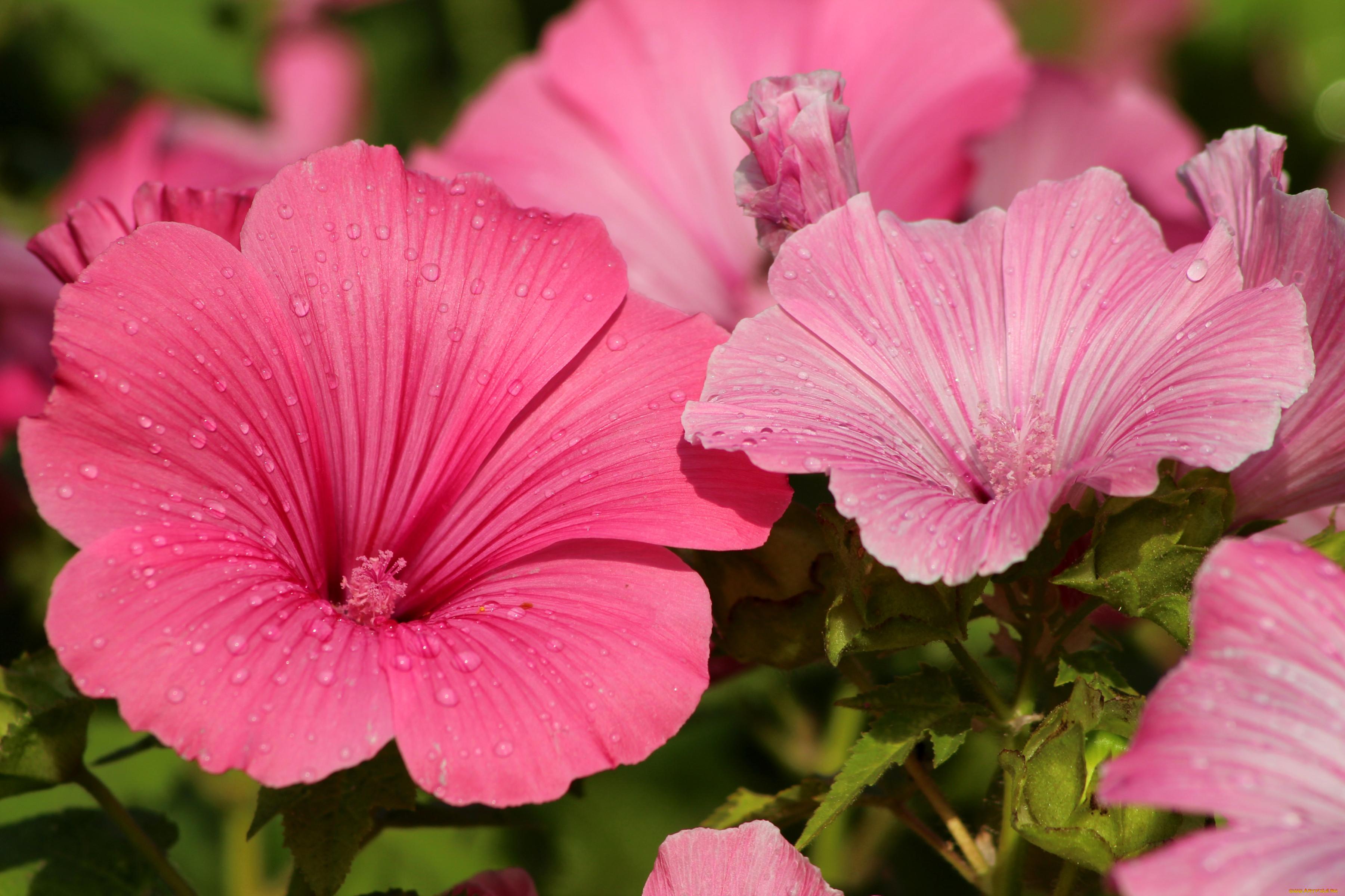 цветы лаватера фото николай старается